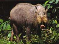 Kubah has a large and varied animal community such as the bearded wild boar.